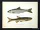 Dace and Minnow by Sir Herbert Maxwell